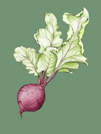 Illustration of a Beetroot with large leaves