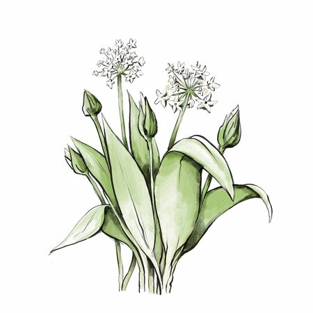 Illustration of Flowering wild garlic in water color