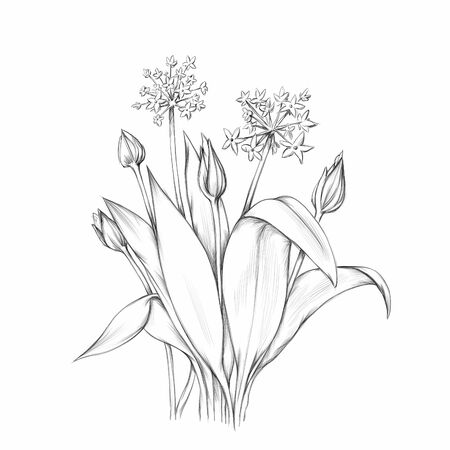 Illustration of Flowering wild garlic Stockfoto