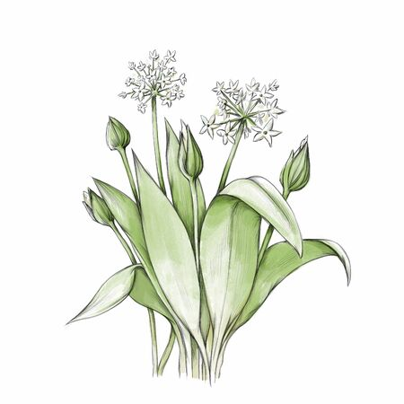 Illustration of Wild garlic with flowers