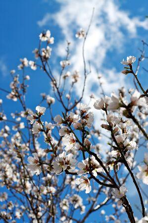 Almond tree on sky Stock Photo - 14290108