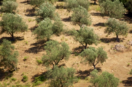 Olive trees on Hill photo