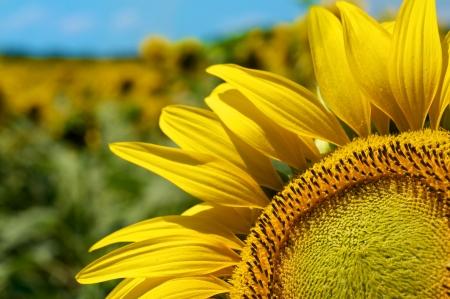Slunečnicové pole a modrá obloha Reklamní fotografie - 14411647