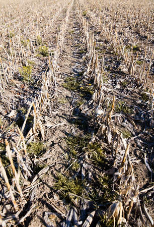 Dry Corn field photo