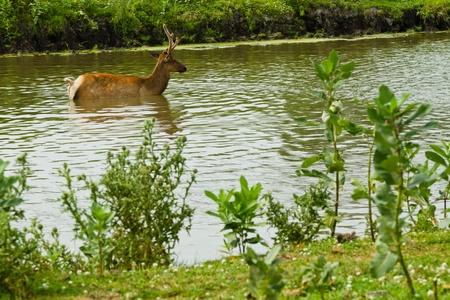 fallow deer: Deer and fallow deer at the watering