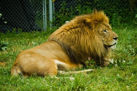 大人のライオン