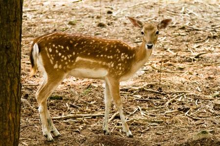 fallow deer: Fallow deer in forest