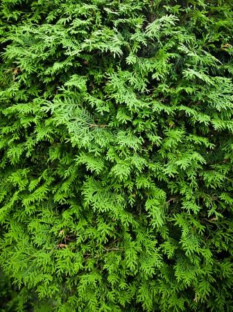 cedro: Cedar textura