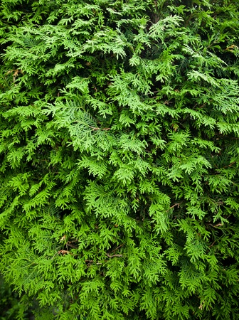 cedar tree: Cedar texture Stock Photo