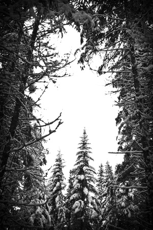 powder snow: Snowy forest background in black and white