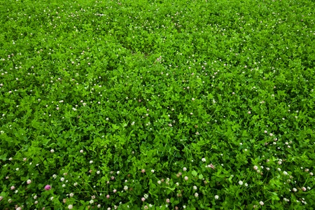 Texture overgrown clover photo