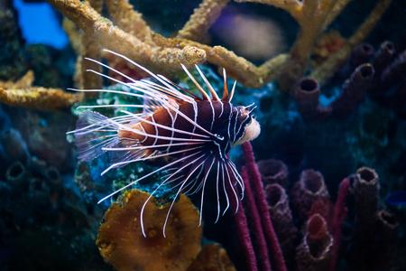 Beautiful Lion Fish Pterois Swimming Alone in a Big Aquarium