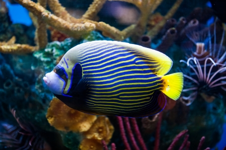 pomacanthus imperator: Imperial Anglefish Closeup in a Big Saltwater Aquarium