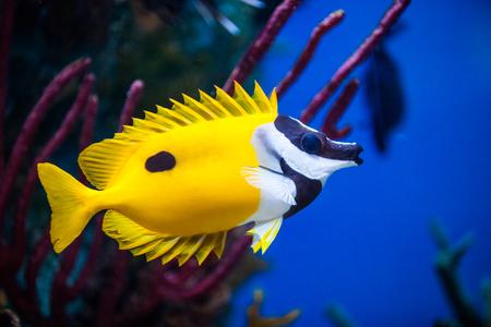 rabbitfish: Onespot Foxface Rabbitfish Closeup in a Big Saltwater Aquarium