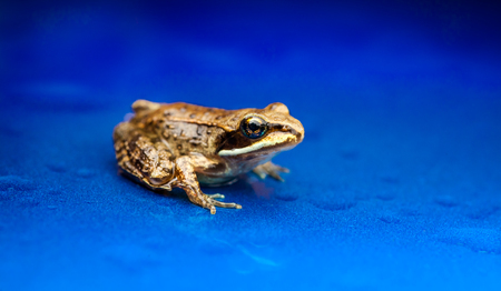 tiny frog: Miniature from sitting on a Electic Blue Background