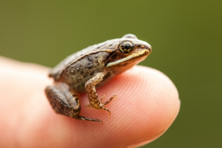 tiny frog: Miniature from sitting on a Humain Finger (index) so we can see how small the frog is