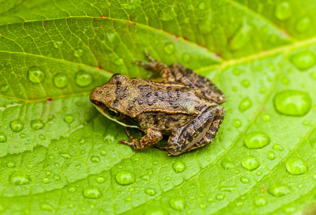 tree frog: Miniature from sitting on a Wet Leaf in Forest Stock Photo