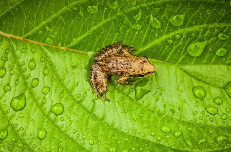 tiny frog: Miniature from sitting on a Wet Leaf in Forest Stock Photo