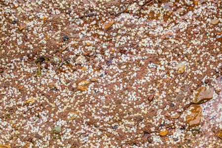 larval: Some white Balanus glandula on a rock that create a natural texture Stock Photo