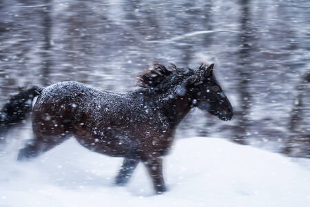 Fast Horse Galloping during a Blizzard in Nature (with motion blur) photo