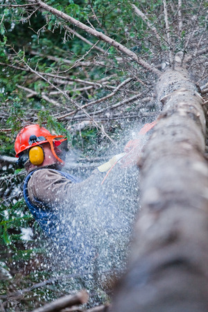 forestry industry: Professional Lumberjack Cutting a big Tree in the Forest during the Winter
