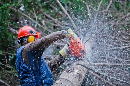 Lumberjack Profesional Cortar un árbol grande en el bosque durante el invierno