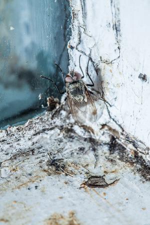shit: Nasty Housefly in a Dirty Window Frame Corner