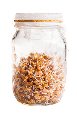 Sprouting Weat Seeds Growing in a Glass Jar Isolated on White Background photo