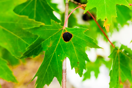 spot: Black Tarry Spot on a Maple Leaf Called the Goudronneuse is a Microscopic Fungus Infection Affecting the Norway Maple in Canada