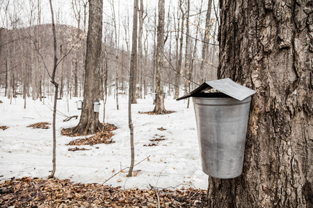 Forest of Maple Sap buckets on trees in spring photo