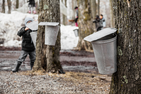 Forest of Maple on trees in spring and Kids lookin into the Sap buckets Standard-Bild