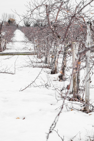 Small Apple Trees During Wintertime in Quebec photo