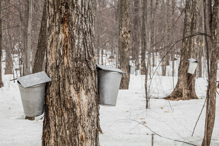 sugar maple: Forest of Maple Sap buckets on trees in spring
