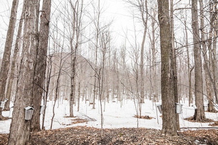 Forest of Maple Sap buckets on trees in spring