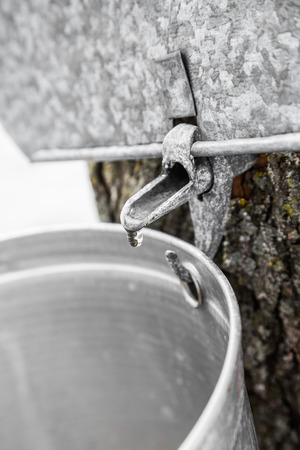 sugar maple: Maple Sap buckets Closeup on trees in spring