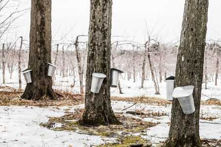 maple syrup: Forest of Maple Sap buckets on trees in spring