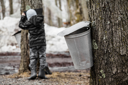 Forest of Maple on trees in spring and Kids lookin into the Sap buckets Stock Photo