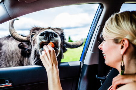 feeding through: Editorial - July 29, 2014. Girl feeding a Cow during the Car Circuit Where you can touch and feed many kind of animals staying inside your car and driving through all different sections at Parc Safari, Quebec , Canada on a beautiful summer day.