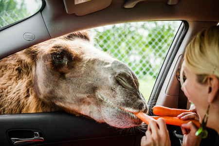 feeding through: Editorial - July 29, 2014. Girl Feeding a Camel during the Car Circuit Where you can touch and feed many kind of animals staying inside your car and driving through all different sections at Parc Safari, Quebec , Canada on a beautiful summer day.