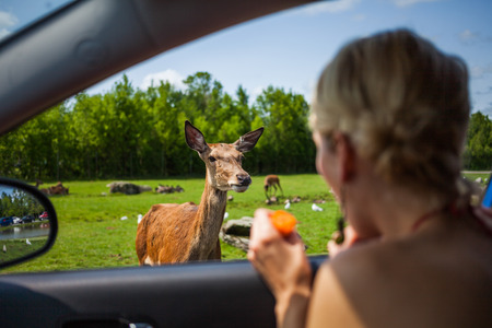 Editorial - July 29, 2014. Cute Deer inside the Car Circuit Where you can touch and feed many kind of animals staying inside your car and driving through all different sections at Parc Safari, Quebec , Canada on a beautiful summer day.