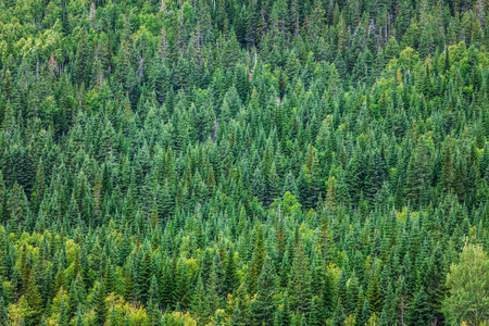 coniferous tree: Forest texture Somewhere in Quebec, Canada Stock Photo