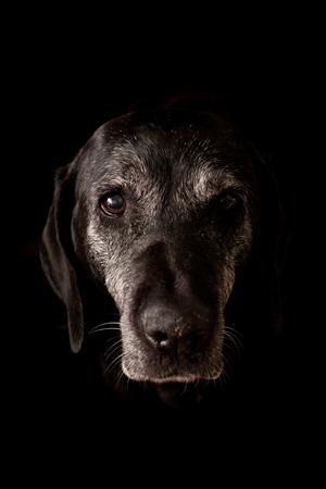 Sad Oude Hond Kijkend naar de camera - geïsoleerd op zwarte achtergrond Stockfoto