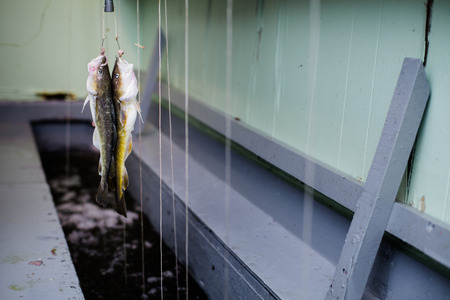 fishing cabin: Two Tomcod Hooked on a Fishing Line inside a Cabin on Ice in Ste-Anne-De-La-Perade, Quebec, Canada