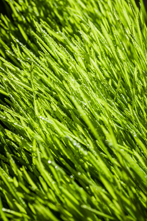 Abstract Macro Close-up of Mature Wheatgrass Details