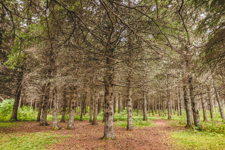 View dry pine and fir without needles in waterless evergreen forest.