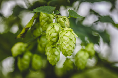Close-up cascade hop growing on a branch of plant on at farm.