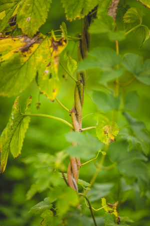 Close-up hop plant twisted around the rope for height gain on a farm. Reklamní fotografie