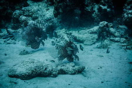 Underwater view to two lionfish swimming at the ocean ground. Stock Photo