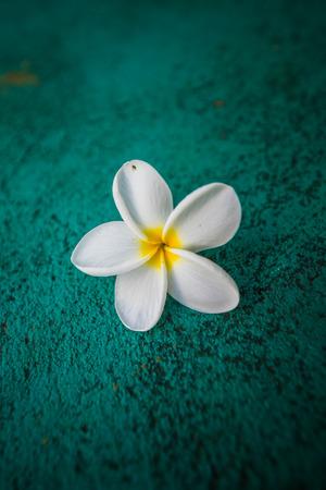 White bloommed Flower of Plumeria on Green Texture. Stock Photo