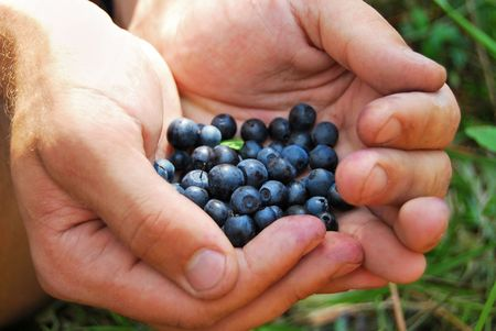 bilberry: Bilberry in hands Stock Photo